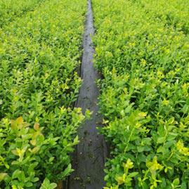 sadzonki borowki plantacja